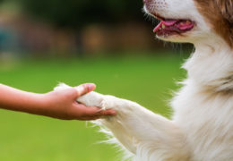 64627306 - australian shepherd dog gives a girl the paw